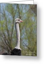 Male Ostrich Greeting Card
