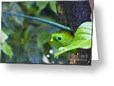 Male Quetzal Working On Nest Hole Greeting Card