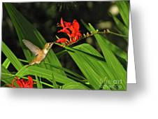 Male Rufous Hummingbird Greeting Card