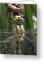 Male Southern Hawker Dragonfly Greeting Card