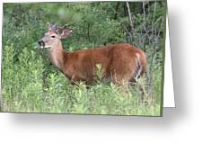Male White Tailed Deer In A Spring Meadow Greeting Card