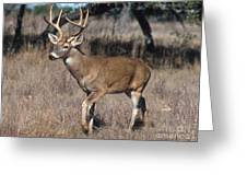 Male White-tailed Deer Greeting Card