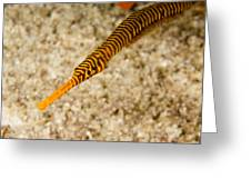 Male Yellow Banded Pipefish Carrying Greeting Card