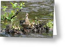 Mallard Duckling Rest  Greeting Card by Neal Eslinger