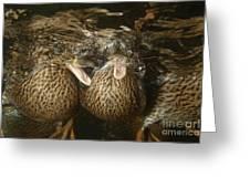 Mallard Ducks Underwater Greeting Card
