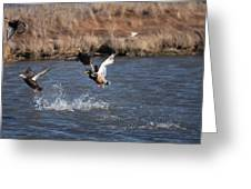 Mallard Greeting Card