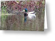 Mallard On A Pond Greeting Card