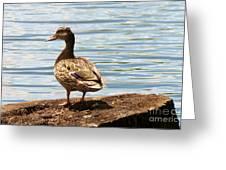 Mallard Sunning Greeting Card
