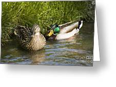 Mallards Nesting Greeting Card