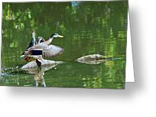 Mallards Taking Off Greeting Card