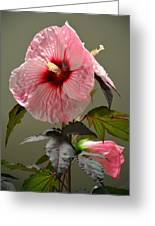 Mallow Hibiscus Greeting Card