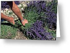 Man Harvesting Lavender Flowers In Field Greeting Card