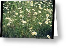 Manchester Daisies Greeting Card
