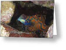 Mandarinfish Sheltering Amongst Rocks Greeting Card