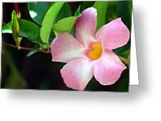 Mandevilla Pink Greeting Card