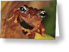 Mantellid Frog Boophis Tephraeomystax Greeting Card