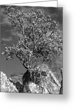 Manzanita Outcrop Greeting Card