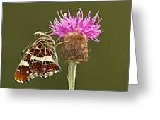 Map Butterfly Araschnia Levana Greeting Card