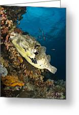 Map Pufferfish, Indonesia Greeting Card
