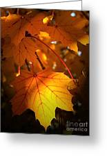 Maple At First Light Greeting Card