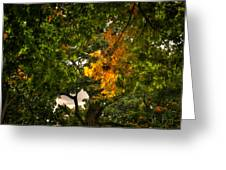 Maple In Oak Grove Greeting Card