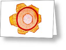 Maple Stem, Light Micrograph Greeting Card