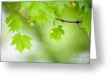 Maple Tree Greeting Card