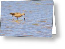 Marbled Godwit Searching For Food Greeting Card