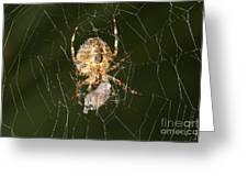 Marbled Orb Weaver Spider Eating Greeting Card