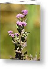 Marsh Fleabane  Greeting Card