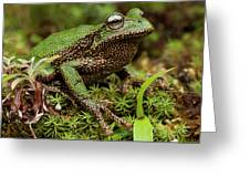 Marsupial Frog Gastrotheca Sp, A Newly Greeting Card