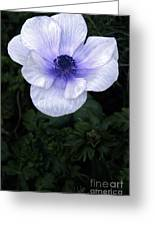Mascara And Lace Anemone Greeting Card