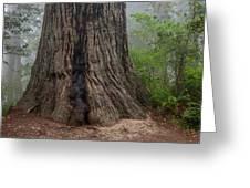 Massive Redwood And Fog Greeting Card