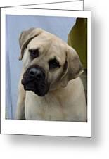 Mastiff 402 Greeting Card