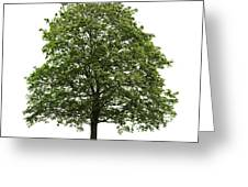 Mature Maple Tree Greeting Card