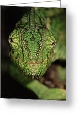 Mediterranean Chameleon Chamaeleo Greeting Card