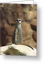 Meerkat Suricata Suricatta Sunning Greeting Card by Konrad Wothe