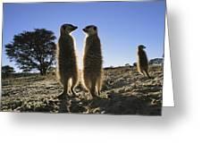 Meerkats Start Each Day With A Sunbath Greeting Card