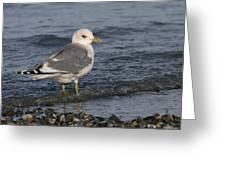 Mew Gull Greeting Card