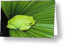 Mexican Giant Tree Frog Pachymedusa Greeting Card