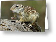 Mexican Ground Squirrel Greeting Card