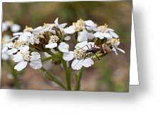 Milkweed Bug Macro Greeting Card