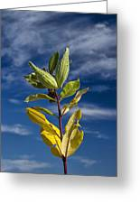 Milkweed Pods Against A Blue Sky Background Greeting Card