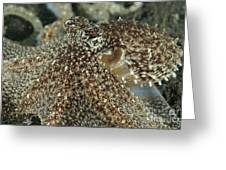 Mimic Octopus Head, North Sulawesi Greeting Card