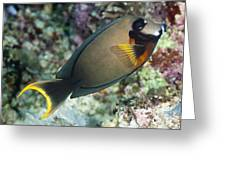 Mimic Surgeonfish Greeting Card by Matthew Oldfield