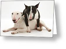 Miniature Bull Terrier Bitch, Lily Greeting Card by Mark Taylor