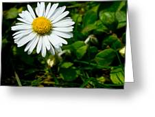 Miniature Daisy In The Grass Greeting Card