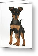 Miniature Pinscher Puppy Greeting Card