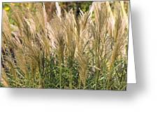 Miscanthus Sinensis 'gearmella' Greeting Card