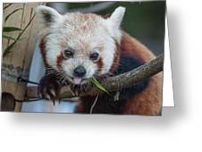 Mischievious Red Panda Greeting Card